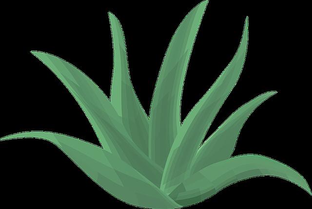 aloe vera pour mincir